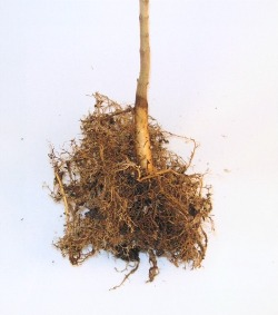 stage 1 seedling washed roots