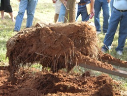 tree roots have expanded into the landscape soil